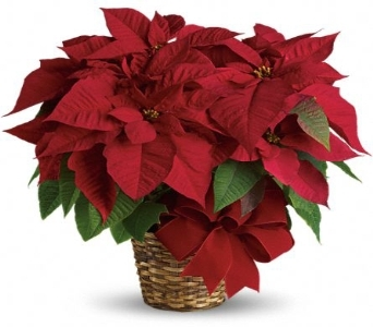 Beautiful Poinsettia in Palm Springs CA, Palm Springs Florist, Inc.