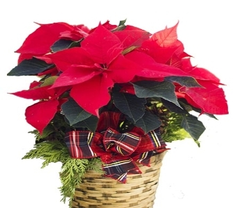 Country Charm Poinsettias in Oshkosh WI, House of Flowers