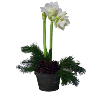 White Amaryllis in Decorative Container in Little Rock AR, Tipton & Hurst, Inc.