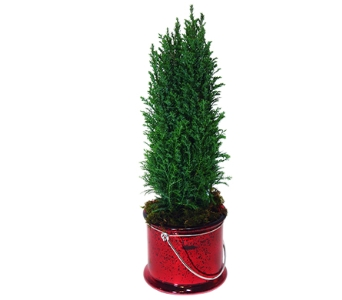 Cypress Tree in Decorative Container in Little Rock AR, Tipton & Hurst, Inc.