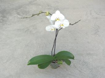 Orchid Phalaenopsis 5 Inch Pot in Lincoln NB, Scott's Nursery, Ltd.