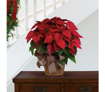 Poinsettia (Canadian-Grown) in Little Rock AR, Tipton & Hurst, Inc.