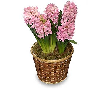 Potted Hyacinth in Little Rock AR, Tipton & Hurst, Inc.