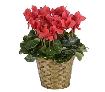 Red Cyclamen in Oklahoma City OK, Trochta's