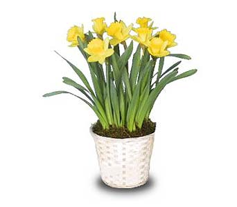 Potted Daffodil in Little Rock AR, Tipton & Hurst, Inc.