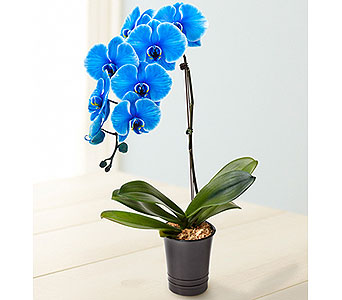 Beautiful Blue Phalaenopsis Orchid in Whittier CA, Ginza Florist