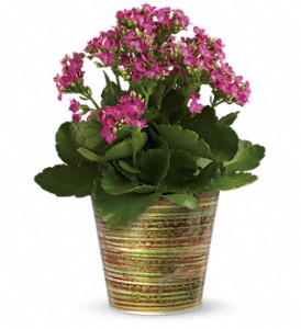 Simply Happy Kalanchoe Plant by Teleflora in Hendersonville NC, Forget-Me-Not Florist