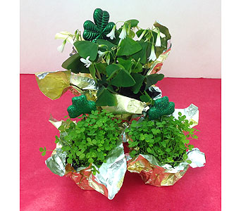 Shamrocks in Manhasset NY, Town & Country Flowers