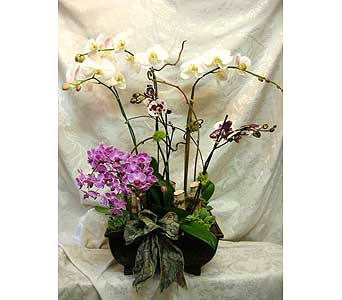 Orchid plant series 45 in Lake Forest CA, Cheers Floral Creations