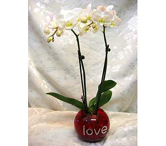 Orchid plant series 46 in Lake Forest CA, Cheers Floral Creations