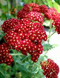 Achillea millefolium/ Yarrow Strawberry Seduction in Waukegan IL, Larsen Florist