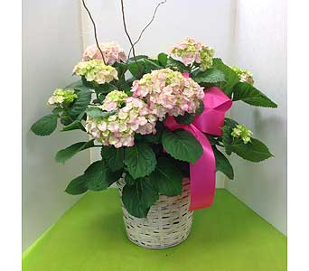 Hydrangea Plant in Basket in Manhasset NY, Town & Country Flowers