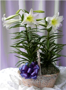 Easter Lily Plant in Kennett Square PA, Barber's Florist Of Kennett Square