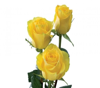 Yellow Rose in Nashville TN, Emma's Flowers & Gifts, Inc.