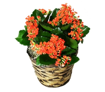 Kalanchoe in Basket in Little Rock AR, Tipton & Hurst, Inc.