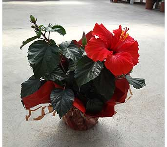 Hibiscus 6� Pot in Lincoln NB, Scott's Nursery, Ltd.