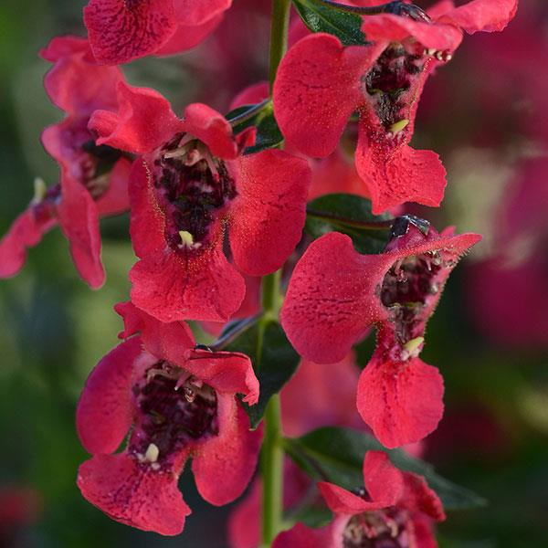 4in Pot: Angelonia - Archangel Raspberry in Waukegan IL, Larsen Florist