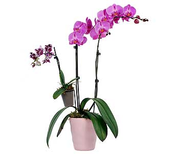 Mother and Child Phalaenopsis Orchid Plant in Madison WI, Felly's Flowers