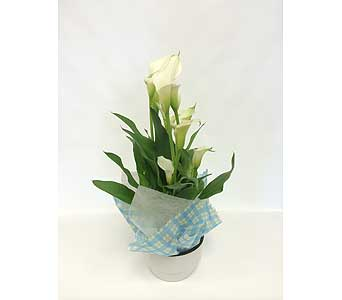 Calla Lilies in Belleville ON, Live, Love and Laugh Flowers, Antiques and Gifts