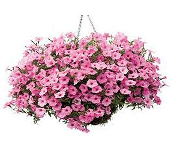 Premium Hanging Basket in Eugene OR, Rhythm & Blooms