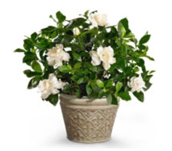 Gardenia in Little Rock AR, Tipton & Hurst, Inc.