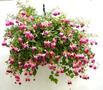 Fuschia Hanging Basket w/bow in Schofield WI, Krueger Floral and Gifts