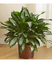 Silver Queen Aglaonema Plant in Clearwater FL, Hassell Florist