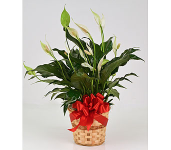 Vital Spirit Peace Lily in Indianapolis IN, Gillespie Florists