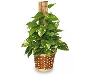 Pothos Pole Plant in Clearwater FL, Hassell Florist