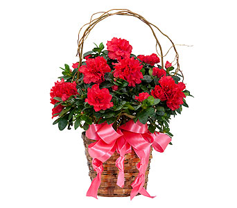 Graceful Azalea in Schaumburg IL, Deptula Florist & Gifts