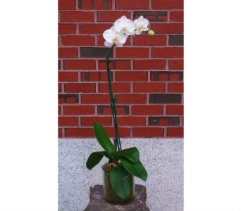 White Phalaenopsis Orchid in Portland ME, Sawyer & Company Florist