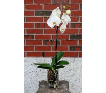 Phalaenopsis Orchid - Small in Portland ME, Sawyer & Company Florist