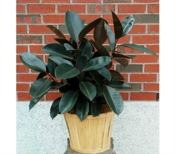 Rubber Tree in Portland ME, Sawyer & Company Florist