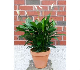 Peace Lily in Portland ME, Sawyer & Company Florist