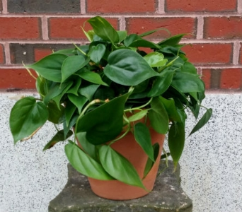 Philodendron in Portland ME, Sawyer & Company Florist