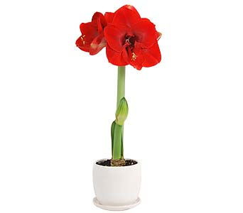 Amaryllis Plant in a White Pot in Madison WI, Felly's Flowers