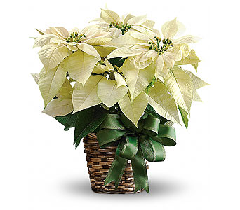 White Poinsettia in Palm Springs CA, Palm Springs Florist, Inc.