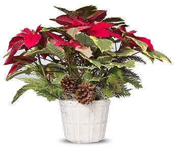 Country Christmas Poinsettia in Oshkosh WI, House of Flowers