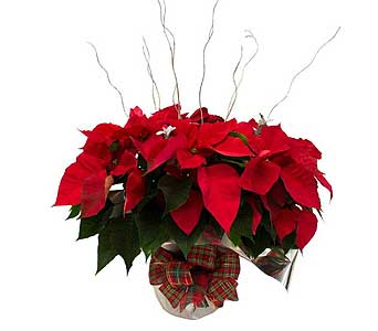 Custom-Decorated Poinsettia in Dearborn Heights MI, English Gardens
