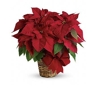 Poinsettia Plant in Smyrna GA, Floral Creations Florist