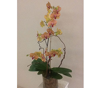 Multi-Color Orchid Plant in Houston TX, River Oaks Flower House, Inc.