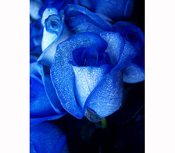 Blue roses in Barrie ON, The Flower Place