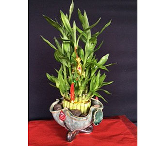 Lucky Bamboo in Oakland CA, J. Miller Flowers and Gifts