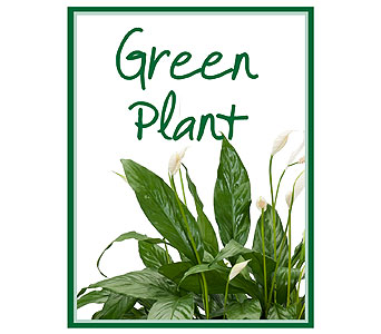 Green Plant Deal of the Day in Lawrence KS, Englewood Florist