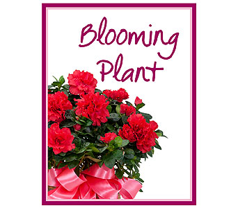 Blooming Plant Deal of the Day in Mattoon IL, Lake Land Florals & Gifts