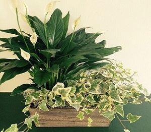 Peace Lily and Ivy Planter in Piqua OH, Genell's Flowers