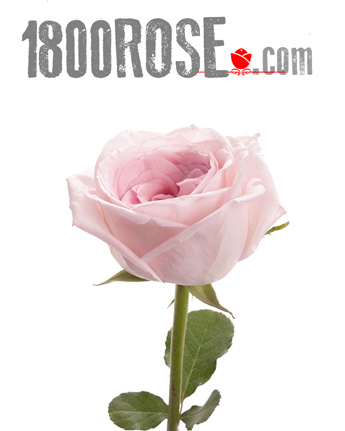 Single Pink Rose in USA NE, 1800Rose.com