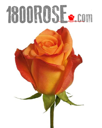 Single Orange Rose in USA NE, 1800Rose.com
