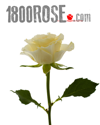 Single White Rose in USA NE, 1800Rose.com