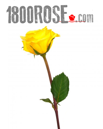 Single Yellow Rose in USA NE, 1800Rose.com